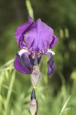 lila-iris-1